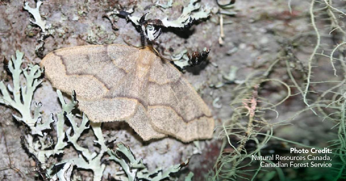Western hemlock looper moth
