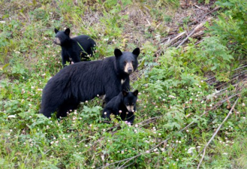 A female black bear with two cubs in the forest