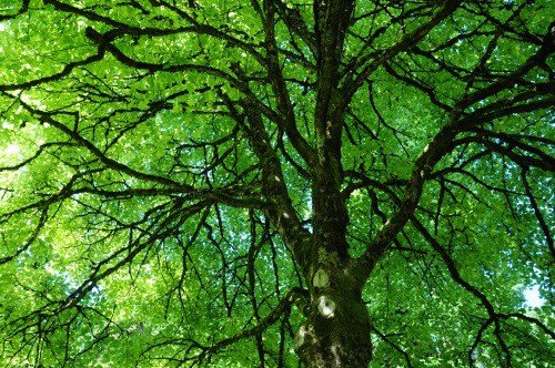 Photo of a large tree in leaf
