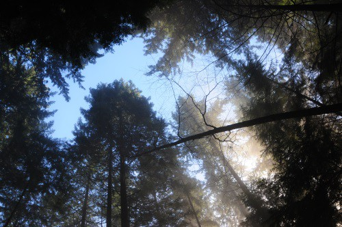 Large trees in Lynn Canyon park